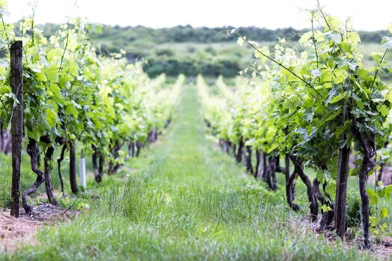 vigne-maison-guerin-pineaux